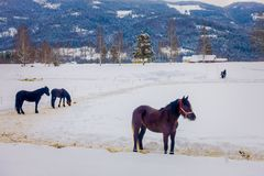 Beautiful view of norwegian Fjord horse gallops in beautiful winter landscape in Norway.  Stock Photography