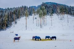 Beautiful view of norwegian Fjord horse gallops in beautiful winter landscape in Norway.  Royalty Free Stock Photos