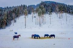 Beautiful view of norwegian Fjord horse gallops in beautiful winter landscape in Norway.  Stock Image