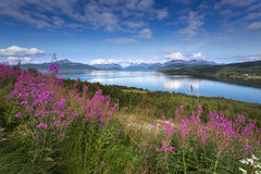Beautiful view of nothern Norway, Lyngen Alps. Summer beautiful view of nothern Norway, Lyngen Alps, with blue sky, fjord and willow-herb flowers Royalty Free Stock Image