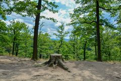 Beautiful view of Old Tree Stump in the summer forest stock photography