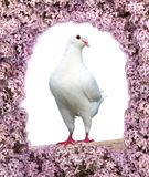 Beautiful view of one white pigeon Royalty Free Stock Photos