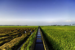 Beautiful view paddy fields at morning. concrete water canal and single tree for paddy rice field irrigation. Amazing view paddy fields at morning. concrete royalty free stock image