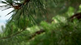 Beautiful view of pine tree forest with green branches needles closeup evergreen stock video footage