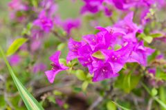 Beautiful view of Pink Purple Bougainvillea Flowers thorny ornamental vines, bushes, and trees with flower-like spring leaves. Near its flowers. Natural Wild stock image