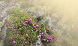Beautiful view of pink rhododendron rue flowers blooming on mountain slope with foggy hills with green grass. Beauty of nature royalty free stock image