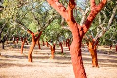 Cork oak trees in Portugal. Beautiful view on the plantation of cork oak trees with freshly crumbled bark in Portugal Stock Photography