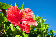 Beautiful view of red Hibiscus flower Stock Images