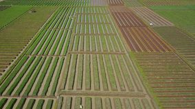 Beautiful view of red onion farmland stock footage