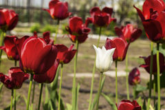 Beautiful view of red tulips in the garden. One white tulip among the red tulips. concept - individuality and loneliness Royalty Free Stock Photos