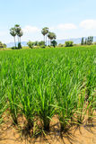 Beautiful view of rice plant. In rural of Thailand Stock Images