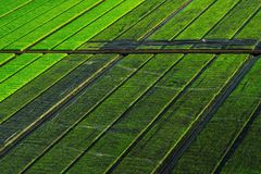 Beautiful view of rice seedlings in the field in Suphanburi Thai stock images
