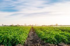 Beautiful view of the rural farm. Potato plantations are growing in the field. Organic vegetables. Agriculture. Farming. Selective stock image