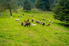 Beautiful view of some sheep grazing in river valley, located in south island in New Zealand.  Royalty Free Stock Photos