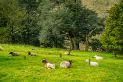 Beautiful view of some sheep grazing in river valley, located in south island in New Zealand.  Stock Images