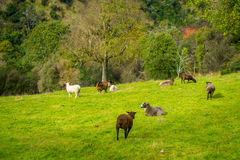 Beautiful view of some sheep grazing in river valley, located in south island in New Zealand.  Royalty Free Stock Photography