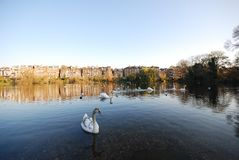 Swans swimming in pond, Hampstead Heath, London, UK royalty free stock photos