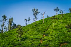 A Beautiful view of Tea Estate. Stock Photos
