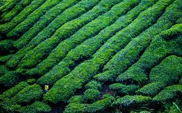 A beautiful view at the tea plantation in Cameron Highland. Malaysia Royalty Free Stock Image