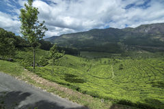 Beautiful view of the tea plantations. In India royalty free stock image