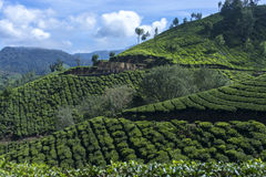 Beautiful view of the tea plantations. In India stock photos