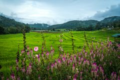 View of terraced rice field with a purple flowers foreground in cloudy day at Mae Klang Luang in Chiang Mai, Thailand. Beautiful view of terraced rice field royalty free stock photos