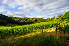 Beautiful view to vineyards in Provence Royalty Free Stock Photo