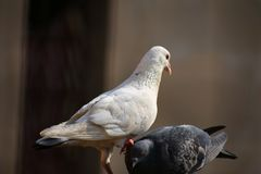 Beautiful view of two pigeons. one dominating other. a true black and white combination.a symbol of dominance. Two pigeons playing royalty free stock photos