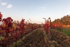 Beautiful view of a vineyard in autumn, with very intense red foliage, under a blue sky stock photo