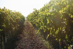 Beautiful view of vineyard. With cultivated wine grape plants royalty free stock photography