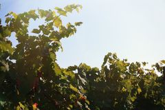 Beautiful view of vineyard. With cultivated wine grape plants stock photography