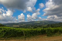 Vineyard at Tuscany, Chianti, Italy. This is a beautiful view of a vineyard in Tuscany, Chianti, Italy. The foreground is filled with a plantation of grape royalty free stock photos