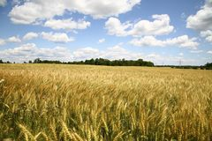 Beautiful view of Wheat farm. Golden wheat farm under the nice blue sky Stock Photo