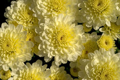 White Mums Yellow Centers up Close Stock Image