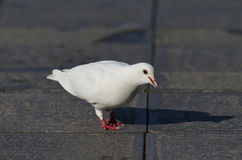 Beautiful view of a white pigeon Stock Image