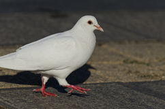 Beautiful view of a white pigeon Royalty Free Stock Photography