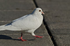Beautiful view of a white pigeon Stock Images