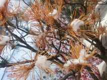 Snow on brown branch of pine tree Royalty Free Stock Photo