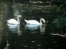 Zagreb, Maksimir, beautiful, town,recently,Beautiful, view ,white swans, love stock photo