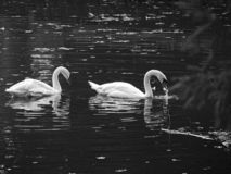 Zagreb, Maksimir, beautiful, town,recently,Beautiful, view ,white swans, love stock images