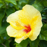 Beautiful view of yellow Hibiscus flower Royalty Free Stock Photo