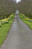 Beautiful village road with yellow daffodils flowers and trees a Stock Image