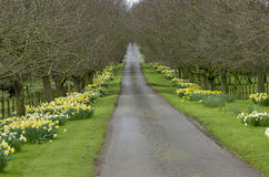 Beautiful village road with yellow daffodils flowers and trees a Stock Images