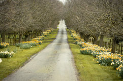 Beautiful village road with yellow daffodils flowers and trees a Royalty Free Stock Photo