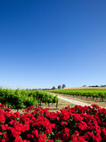 Beautiful Vineyard. Vineyard and red flowers in the Barossa Valley stock image