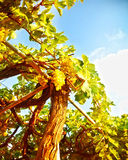 Beautiful vineyard Royalty Free Stock Photography