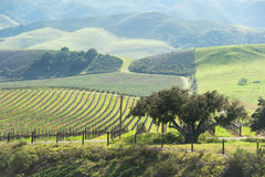 Beautiful vineyard in the central coast royalty free stock photos