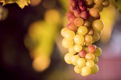 White grapes in vineyard Royalty Free Stock Photography