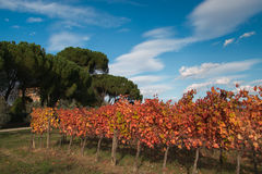 Beautiful vineyard with colored leaves Royalty Free Stock Image