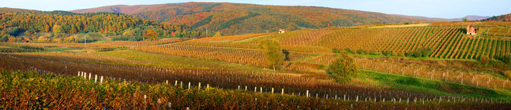 Beautiful vineyard in Croatia. A panoramatic view of a vineyard in Kutjevo, a town in Croatia Stock Photo